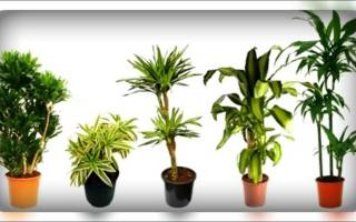 Высокие комнатные растения