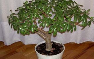 Монетное дерево