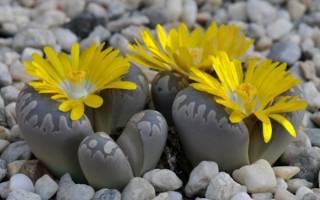 Литопс живые камни
