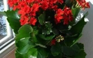 Каланхоэ сбрасывает листья почему