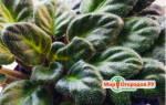 Почему чернеют листья у фиалки по краям