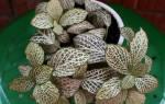 Растение фиттония