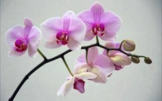 Сколько живут орхидеи