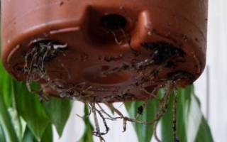 Как пересадить комнатные растения
