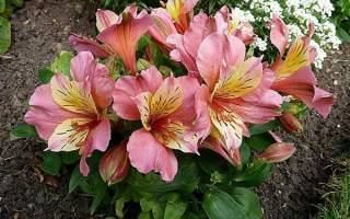 Цветок астрометрия