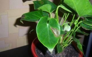 На листьях антуриума коричневые пятна что делать