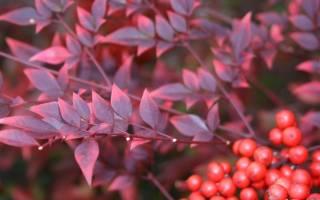 Дерево с красными листьями название