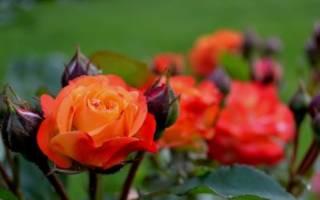 Чайная роза уход
