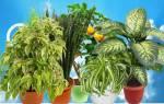 Ядовитые домашние цветы