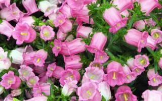 Розовый колокольчик