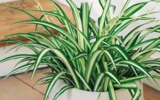 Хлорофитум сохнут кончики листьев что делать