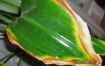 Желтеют листья у комнатных растений что делать