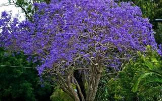 Дерево жакаранда