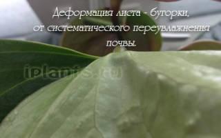 Как посадить антуриум
