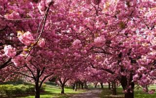 Сакура сколько цветет