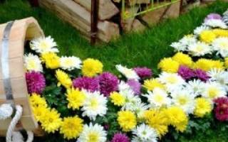 Хризантема сантини
