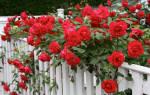 Когда можно черенковать розы