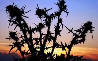 Растение с колючками