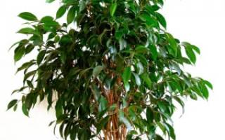 Растение бенджамин