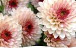 Хризантема цветок