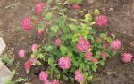 Гортензия pink annabelle