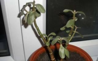 У денежного дерева мягкие листья что делать