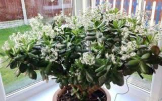 Как заставить цвести денежное дерево