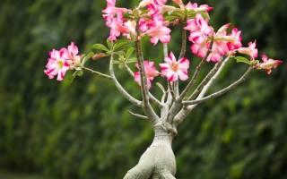 Цветок адениум в домашних условиях уход