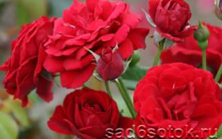 Цветы розы посадка и уход