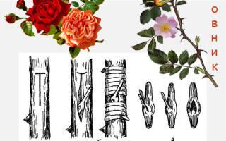 Окулировка роз на шиповник