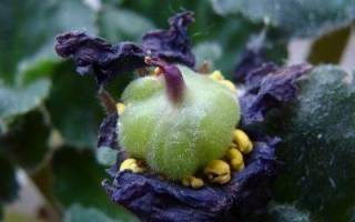Семена фиалок комнатных