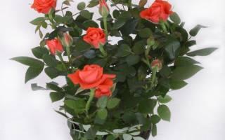 Роза кардана как ухаживать