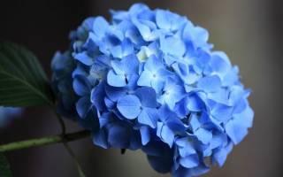 Гортензия голубая