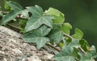 Плющ садовый вечнозеленый посадка и уход